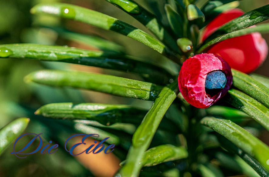 Die Eibe (Taxus baccata)
