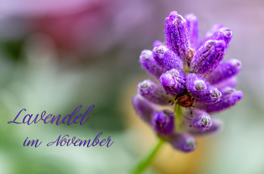 Lavendel-Mittwoch – DND