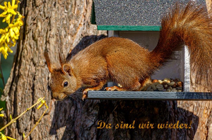Eichhörnchen – Sciurus vulgaris