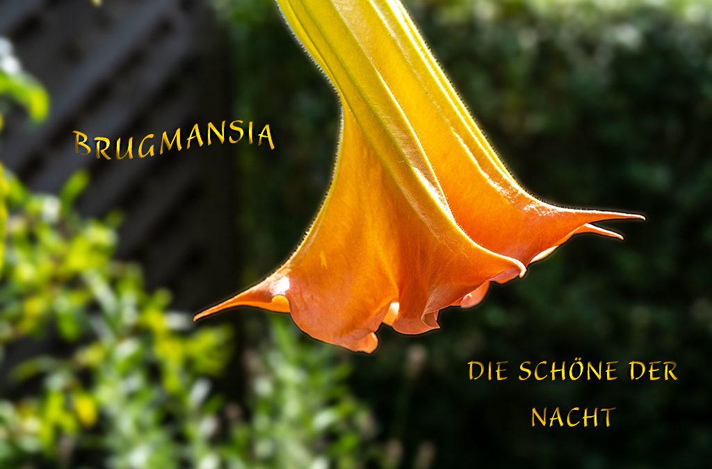 Gartenglück: Meine Engelstrompete