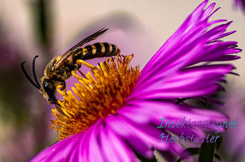 Gelbbindige Furchenbiene & anderes Gesummse